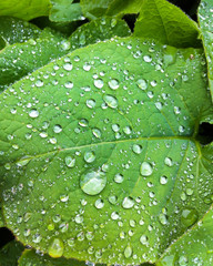 Green leaf with waterdrops after raining in summer.