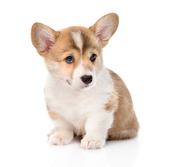 Pembroke Welsh Corgi puppy sitting in front. isolated on white b