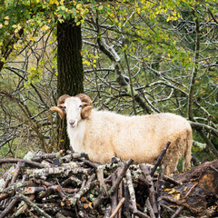 Horned ram in woods, facing camera