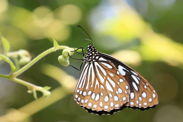 Blue Spotted Milkweed butterfly