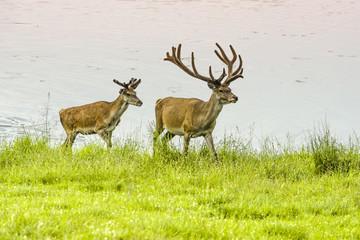 Two deer in the wet meadow