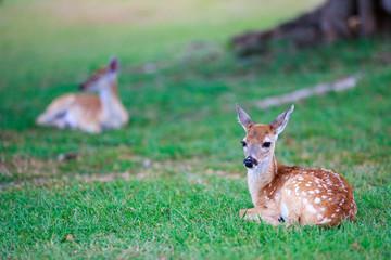 Deer fawn on grass