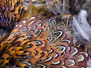 pheasant feathers 004