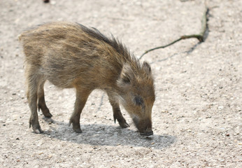 The small wild boar baby searching for the food