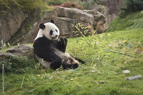 Foto Spatwand Dragen panda géant // giant panda