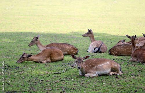 Fotobehang Ree Roe deer group laying in the shadow