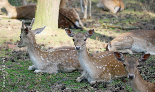 Fotobehang Ree Roe deer group laying in the shadow