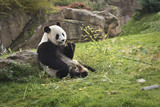 panda géant // giant panda