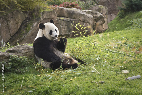 In de dag Panda panda géant // giant panda