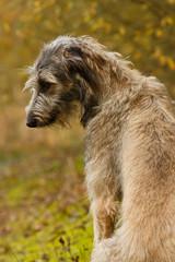 Schüchterner Blick eines Wolfshundes