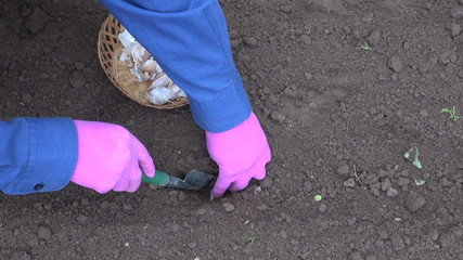 gardener with small shovel planting garlic in vegetable bed