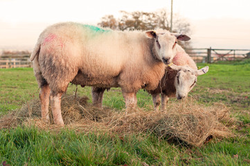 Pair of sheep grazing