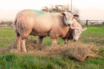 Pair of sheep grazing