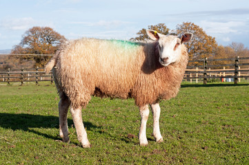 Texel Cross Sheep