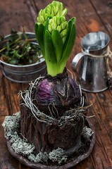 sprout hyacinth flower in a flowerpot decorated with moss