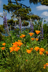 Native poppies and wildflowers in bloom