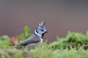Crested tit on the mossy ground