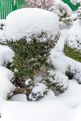 Schneebedecktes Ziergehölz