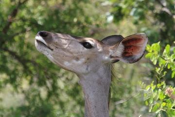 kudu parco del kruger sudafrica