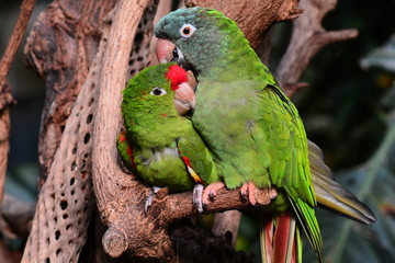 A parrot couple snuggle next to each other.