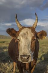 mongolian cow