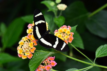 Hewitson's long wing butterfly