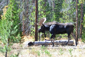 Bull Moose Walking