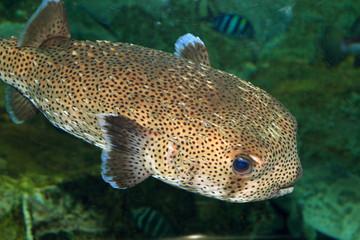 Spot-fin Porcupinefish (Diodon hystrix) in Japan