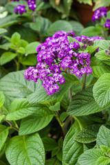 Heliotrope flower blooming purple