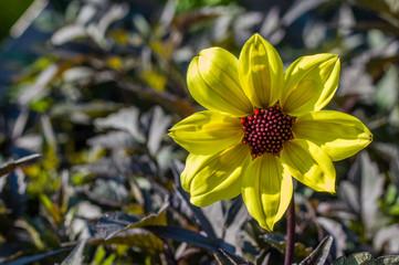 Yellow Dahlia flower in bloom