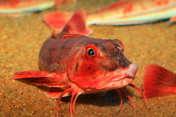 Red Gurnard (Chelidonichthys spinosus) in Japan