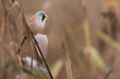 canvas print picture - Bartmeise, Bearded reedling, Panurus biarmicus