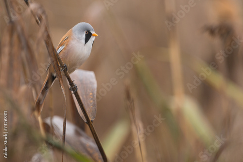 canvas print picture Bartmeise, Bearded reedling, Panurus biarmicus