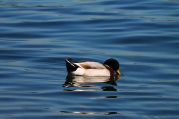 Papere Lago Maggiore