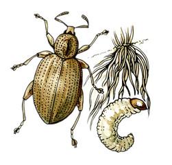 Curculionidae. A plant pest. Botany