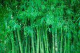 Fototapeta Green bamboo