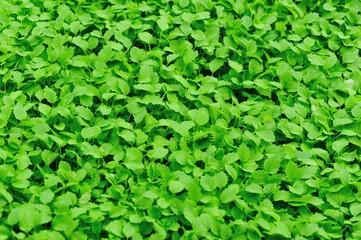 bed of motherwort plant grow