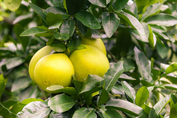 Pomelo hanging on tree
