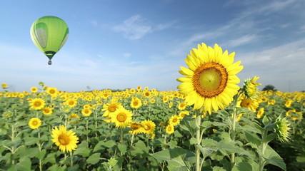 Hot air balloon over sunflower fields