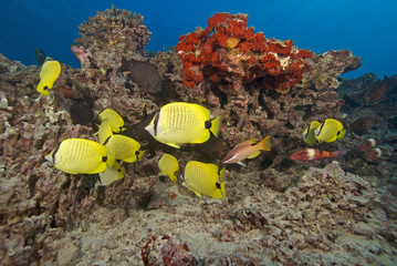 Hawaii Tropical Butterfly Reef Fish