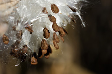 Brown Milkweed Seeds Hanging from the Pod