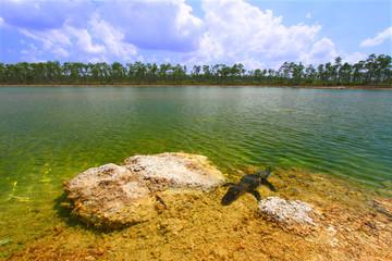American Alligator Landscape Florida