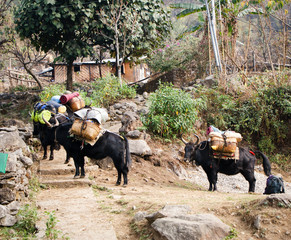 Yaks loaded up for a treck