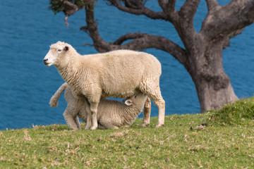 sheep feeding young lamb