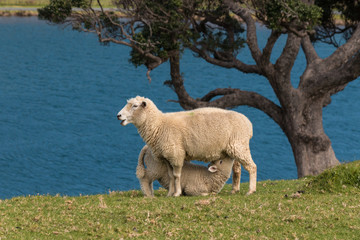 ewe with suckling lamb