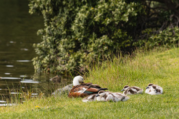paradise shelduck with ducklings