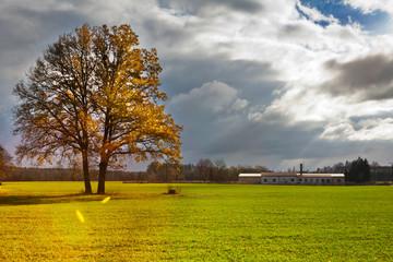 yellow lonely oak tree in the green field