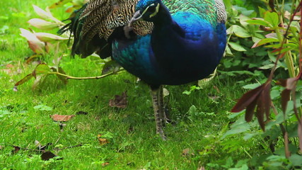Indian peacock in natural environment eating grazing in grass