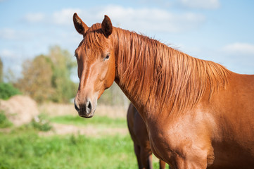 Portrait of a horse on the pasture