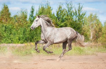 Andalusian stallion running on the pasture in autumn